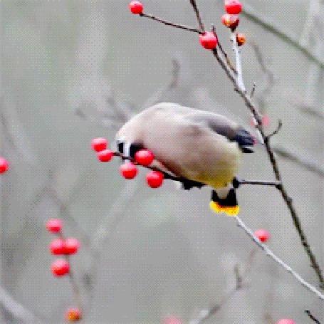 Анимация Птица свиристель сидит на ветке дерева и кушает ягоды (© Arinka jini), добавлено: 19.11.2015 12:54