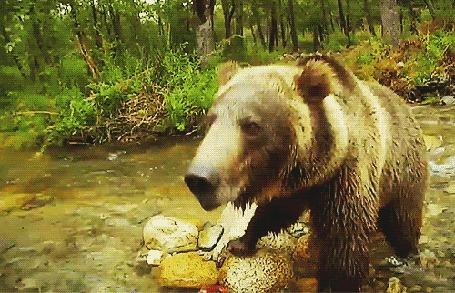 Анимация Медведь недовольно рычит на объект, мешающим ему ловить рыбу в горной реке (© Akela), добавлено: 28.11.2015 05:29