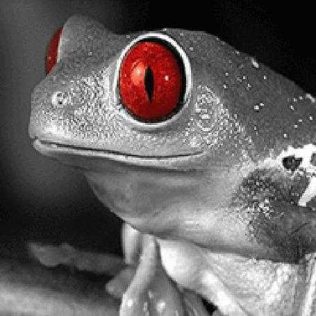 Анимация Лягушка с красными глазами