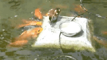 Анимация Утка подкармливает парчовых карпов, кои