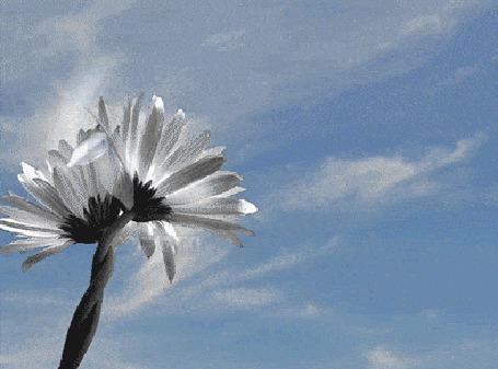 Анимация Ромашки с разлетающимися лепестками и появляющимся сердечком, которое растворяется в облаке