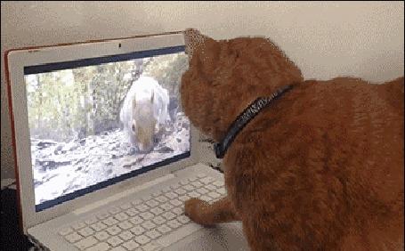 Анимация Рыжий кот наблюдает за белкой на экране ноутбука и не понимает куда она делась