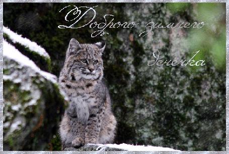 Анимация Дикая кошка стоит возле камня, покрытого снегом, (Доброго зимнего денечка), автор pasiqut
