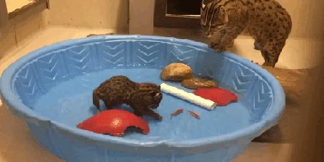 Анимация Prionailurus viverrinus / виверровый кот смотрит на то, как ее котенок ловит в бассейне рыбу