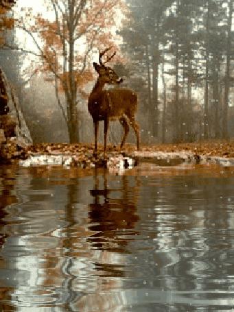 Анимация Олень стоит на берегу озера в осеннем лесу, идет первый снег (© Anatol), добавлено: 22.12.2015 12:32