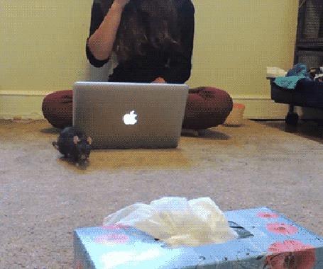 Анимация Девушка сидит перед ноутом, а крыска приносит ей салфетки