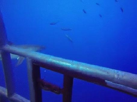 Анимация Акулы пытается добраться до аквалангистов, снимающих их в специальной клетке