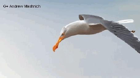Анимация Крабы отражают нападение чайки, построившись в каре (Its smarted to travel in groups, G+Andrew Mashnich)