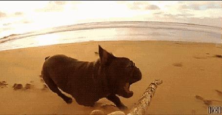 Анимация Собака породы французский бульдог несется за палкой, которую никак не может догнать