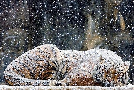 Анимация Тигр лежит под снегопадом (© zmeiy), добавлено: 17.01.2016 20:55
