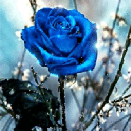Анимация Голубая блестящая роза (© zlaya), добавлено: 03.02.2016 13:07
