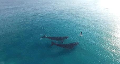 Анимация Серфингист проплывает над китами