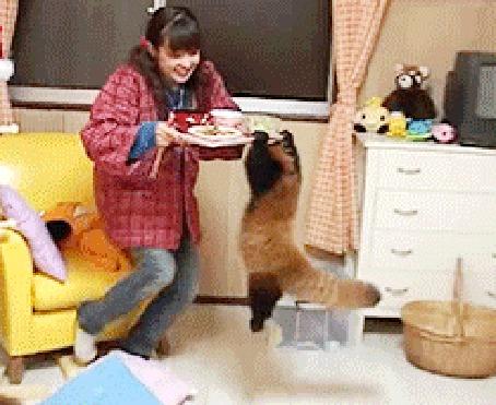 Анимация Красная панда вцепилась в поднос с едой и повисла на нем