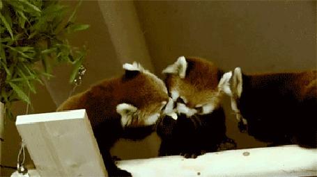 Анимация Две красных панды потешно сражаются за лакомый кусочек
