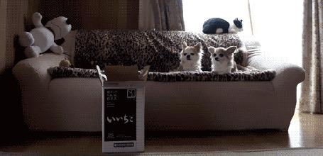 Анимация Кошка прыгает в коробку вслед за брошенной туда игрушкой, но коробка вдруг переворачивается, а за этим действом внимательно, не отрываясь, наблюдают две собаки, лежащие на диване (© Anatol), добавлено: 07.02.2016 00:42