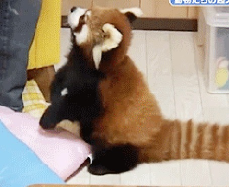 Анимация Красная панда выпрашивает еду в хозяйки