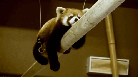 Анимация Красная панда ползет по трубе