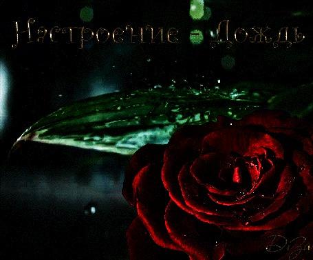 Анимация Красная роза под дождем, (Настроение дождь), ву DiZa-74