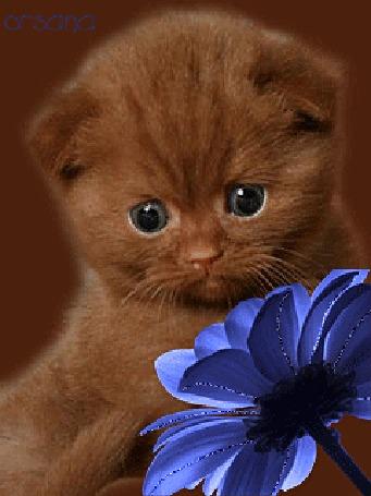 Анимация Красивый котенок с голубыми глазами на фоне голубого цветка, ву Orsana