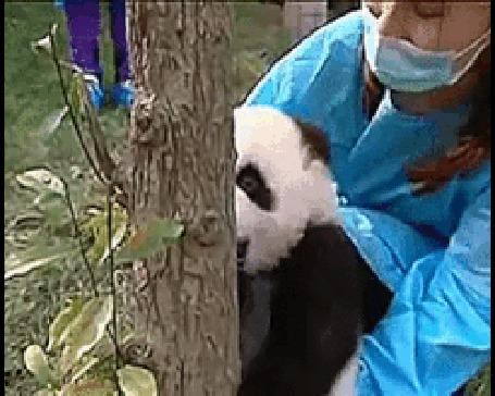 Анимация Маленькую панду учат забираться на дерево (© Anatol), добавлено: 21.02.2016 17:32