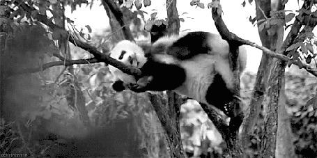 Анимация Панда лежит на дереве, почесывая брюшко