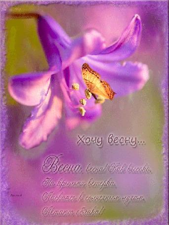 Анимация На раскачивающемся сиреневом цветке порхает бабочка, (Хочу весну. Весна, весна! Как высоко, На крыльях ветерка, Ласкаясь к солнечным лучам, Летают облака), автор Лилия