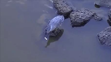Анимация Птица занимается рыбалкой и у нее это получается