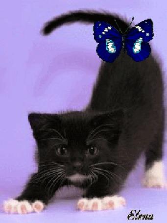 Анимация Синяя бабочка сидит на черном котенке