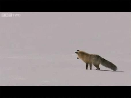 Анимация Лисица мышкует, при этом пробивая снежный настил, попадает в метро и проскакивает далее, пронизывая Землю насквозь