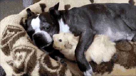 Анимация Собака обнимает и нежно облизывает морскую свинку (© Anatol), добавлено: 19.03.2016 00:18