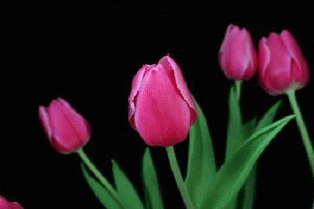 Анимация Распускающиеся розовые тюльпаны