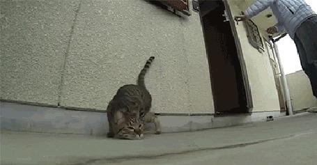 Анимация Кот кувыркается на полу