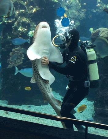 Анимация Аквалангист чешет живот тигровой акуле в аквариуме