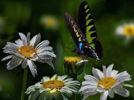 Анимация Бабочка машет крыльями на фоне раскачивающихся ромашек и летящих бликов, DX