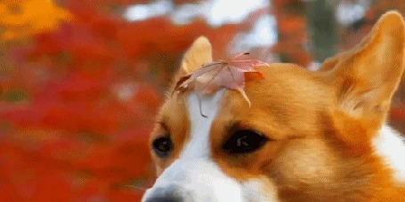 Анимация Рыжая собака с осенним листом на голове (© Solist), добавлено: 27.03.2016 06:45