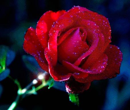 Анимация Красная роза с каплями воды на ней на фоне блика (© elenaiks), добавлено: 29.03.2016 09:08