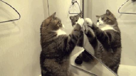Анимация Кот пытается пообщаться со своим отражением в зеркале