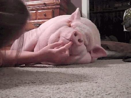 Анимация Девушка трогает свинью за губу (© PolinaPolina), добавлено: 02.04.2016 07:38