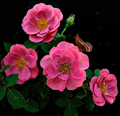 Анимация Порхающая бабочка на розовой розе