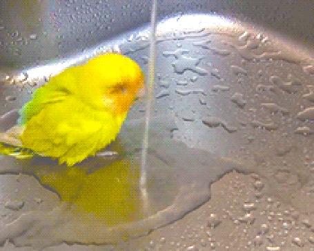 Анимация Желтый попугай купается под струей воды в раковине