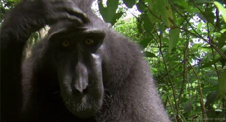 Анимация Черная обезьяна чешет голову, смотря в камеру (© Radieschen), добавлено: 12.04.2016 09:34