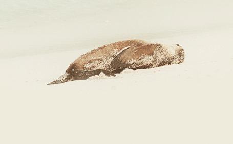 Анимация Морской котик катается по песку на пляже