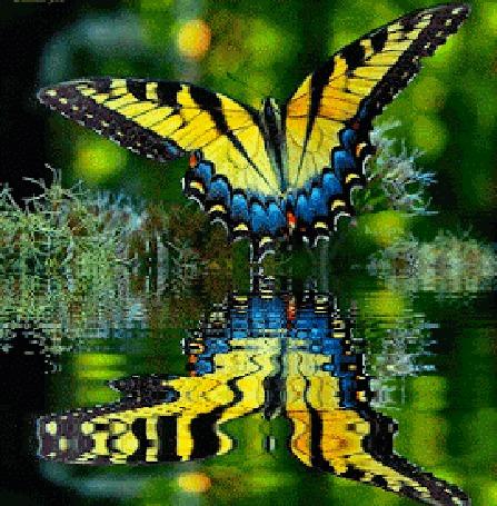 Анимация Отражение бабочки в воде