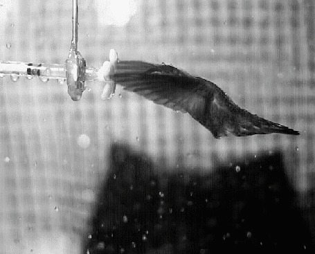 Анимация Птица колибри пьет нектар из поилки под каплями дождя