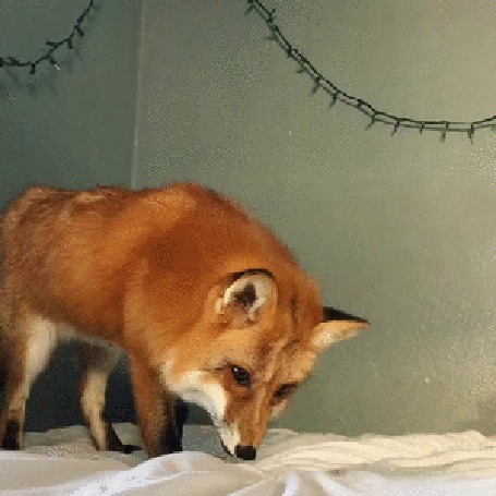 Анимация Рыжая лиса прыгает на кровати