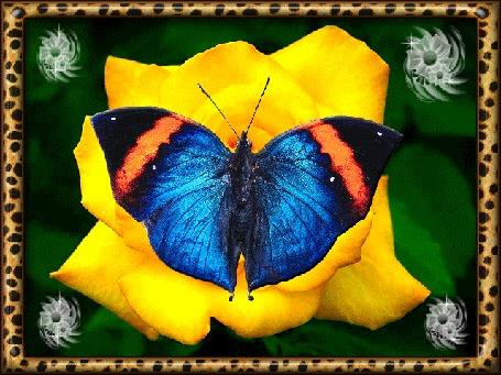 Анимация Бабочка на желтой розе