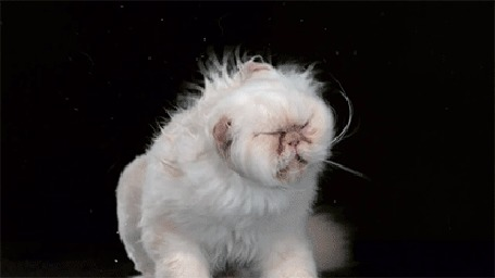Анимация Персидский кот отряхивается, мотая головой, замедленная съемка