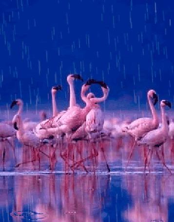 Анимация Розовые фламинго под дождем