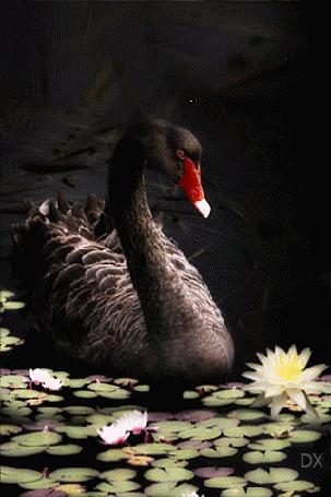 Анимация Черный лебедь плавает на пруду среди кувшинок