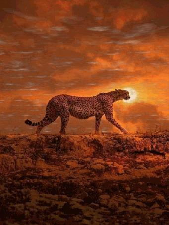 Анимация Идущий на закате гепард